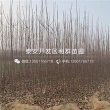 2019年蘋果苗報價圖片