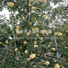 短枝苹果树苗批发价格图片