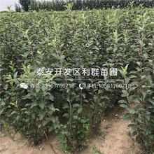 瑞陽蘋果樹苗批發、瑞陽蘋果樹苗價格圖片