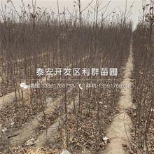 山东优质苹果树苗、山东优质苹果树苗批发图片