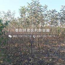瑞阳苹果树苗报价图片