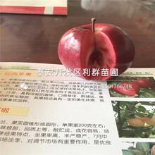 新品種紅元帥蘋果樹苗、紅元帥蘋果樹苗多少錢一棵圖片