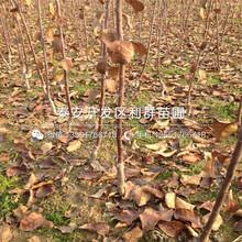 M9T337苹果树苗多少钱图片