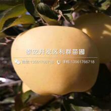 山东双矮苹果树苗、双矮苹果树苗价格图片