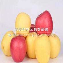 黑钻苹果苗哪里便宜、黑钻苹果苗价格是多少图片