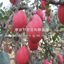 維納斯黃金蘋果樹苗多少錢一棵、2019年維納斯黃金蘋果樹苗價格圖片
