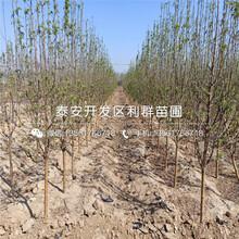 山东懒富苹果树苗、山东懒富苹果树苗基地图片
