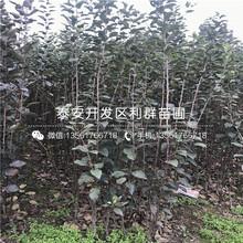 山东长富苹果苗、山东长富苹果苗品种图片