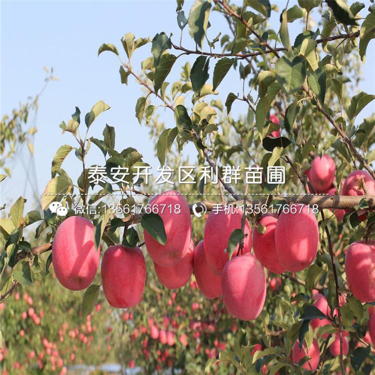 山东世界一号苹果苗、世界一号苹果苗基地
