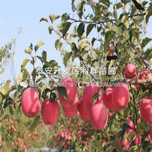 瑞雪苹果苗批发、瑞雪苹果苗价格图片