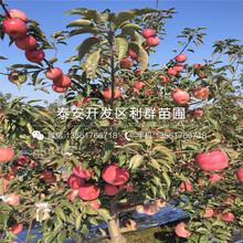 明月苹果树苗价格、明月苹果树苗基地图片