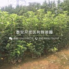 烟富8号苹果树苗出售、烟富8号苹果树苗基地图片