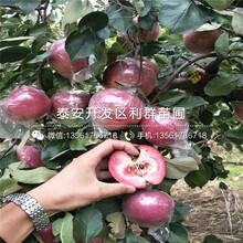 寒富苹果树苗、寒富苹果树苗价格及报价图片