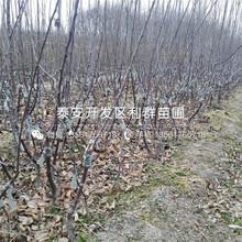 矮化M9T337蘋果樹苗報價、2019年矮化M9T337蘋果樹苗價格圖片