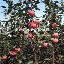 一棵早生富士苹果树苗、一棵早生富士苹果树苗价格图片