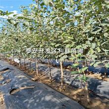 小国光苹果树苗出售基地图片