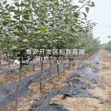 山东5公分苹果苗、山东5公分苹果苗新品种图片
