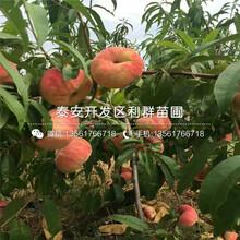永蓮蜜桃2號桃樹苗、永蓮蜜桃2號桃樹苗出售價格圖片