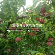 富島紅桃樹苗報價、2019年富島紅桃樹苗價格圖片