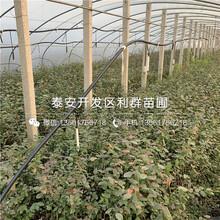 哪里有泰安藍莓苗出售、泰安藍莓苗多少錢一棵圖片