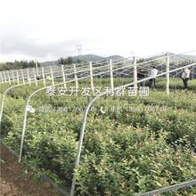 2019年V5藍莓苗、V5藍莓苗價格多少圖片