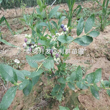 苔蘚藍莓苗出售價格、苔蘚藍莓苗多少錢一棵圖片