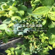 山東陽光藍藍莓樹苗、山東陽光藍藍莓樹苗報價圖片