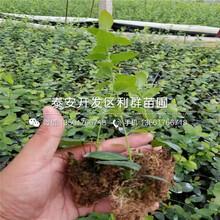伊麗莎白藍莓樹苗批發、2019年伊麗莎白藍莓樹苗價格圖片