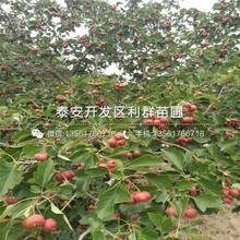 甜红子山楂树苗、甜红子山楂树苗新品种图片