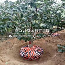 新品种山楂树苗、新品种山楂树苗价格多少图片