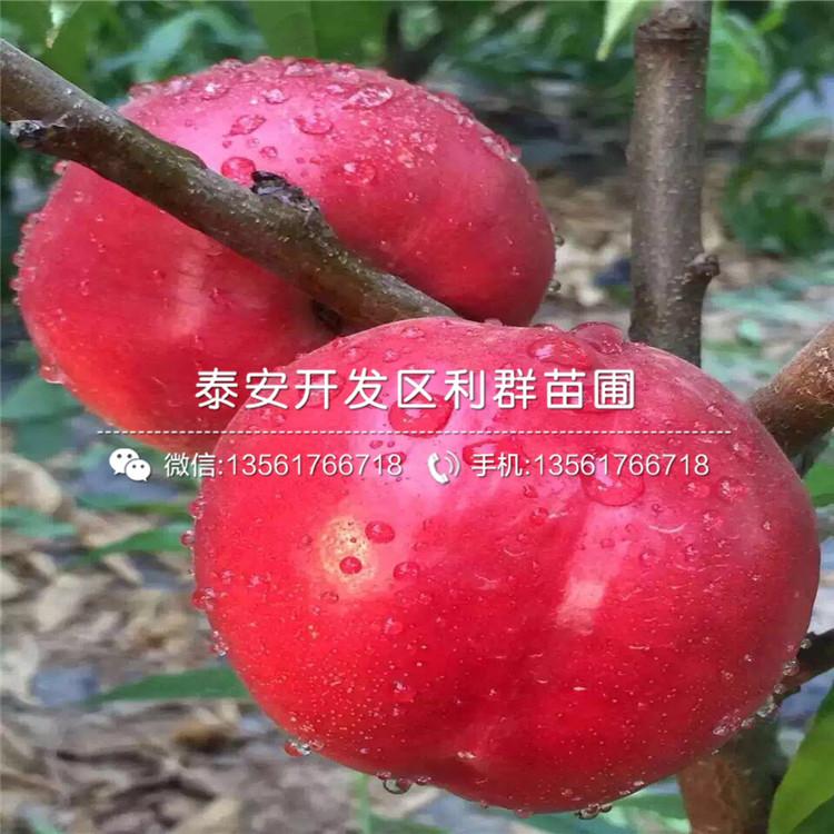 永莲蜜桃2号桃树苗出售、永莲蜜桃2号桃树苗价格及报价