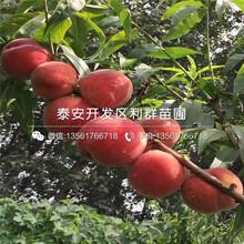 2公分桃树苗、2公分桃树苗报价图片