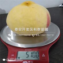 2020年早甜蜜桃树苗报价、今年早甜蜜桃树苗价格是多少图片