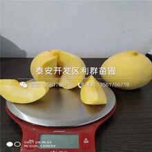 黄金冠黄桃树苗出售、黄金冠黄桃树苗价格图片