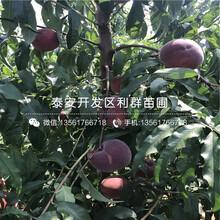 山东中华紫血桃树苗、山东中华紫血桃树苗出售图片