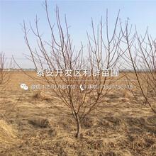 中秋红蜜桃树苗、中秋红蜜桃树苗价位图片