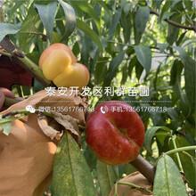 山东桃树苗出售、山东桃树苗价格及报价图片
