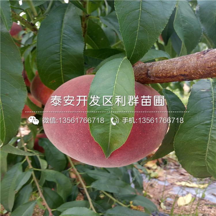 蟠桃桃树苗