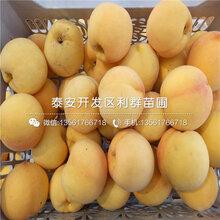 9602桃树苗批发基地、9602桃树苗价格及报价