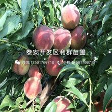 2020年中华福桃桃树苗报价、今年中华福桃桃树苗价格是多少
