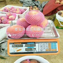黑桃桃树苗批发价格、黑桃桃树苗多少钱一棵
