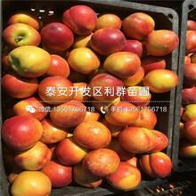 中秋红蜜桃树苗基地、中秋红蜜桃树苗价格及报价图片