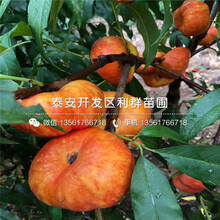 3公分桃树苗哪里便宜、3公分桃树苗价格是多少图片