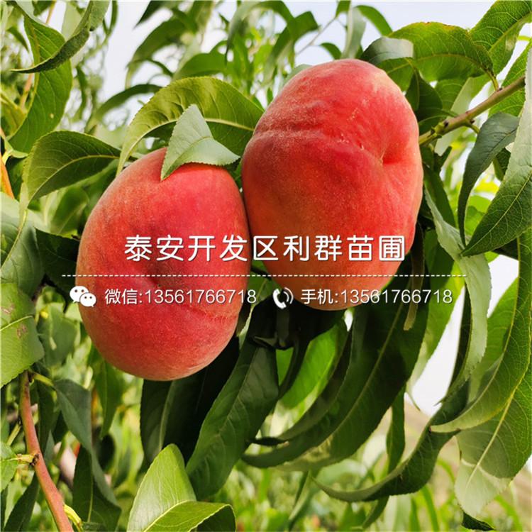 山东黑桃桃树苗、山东黑桃桃树苗出售