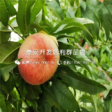 毛桃桃树苗出售基地、毛桃桃树苗多少钱一棵