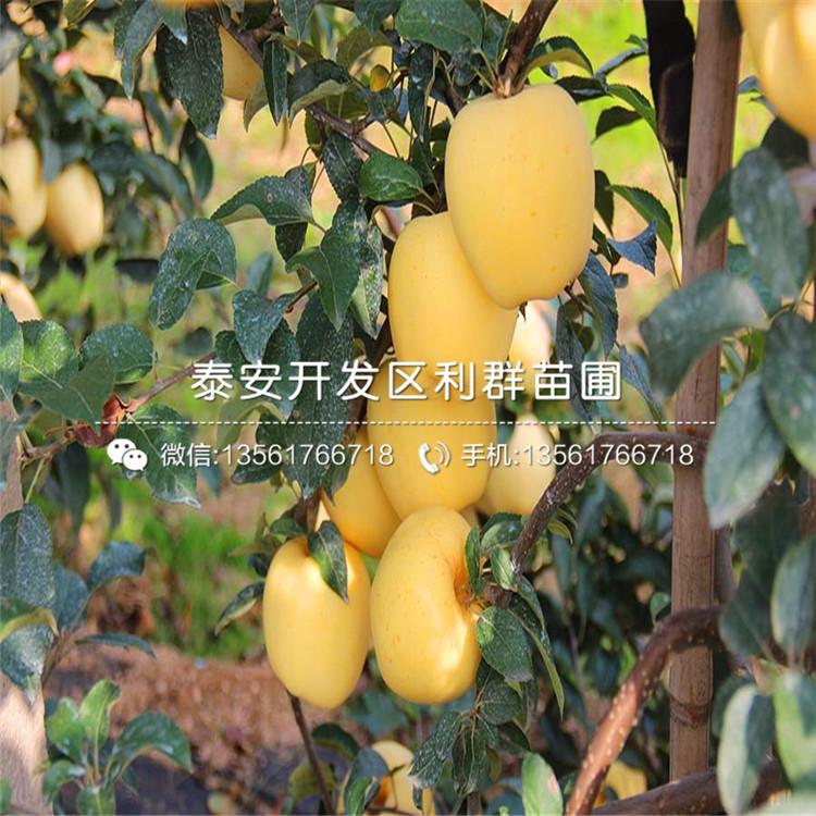山东矮化砧苹果苗、矮化砧苹果苗价格