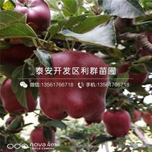 新品种红肉苹果树苗、新品种红肉苹果树苗价格图片