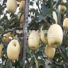 哪里有神富六号苹果树苗出售、神富六号苹果树苗多少钱一棵图片