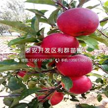山东长枝红富士苹果苗、山东长枝红富士苹果苗价格图片