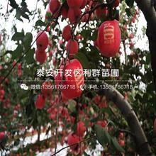 红嘎啦苹果苗价格、红嘎啦苹果苗基地图片
